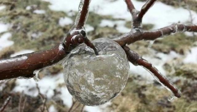 """Необычные """"плоды"""" на фруктовом дереве (3 фото)"""