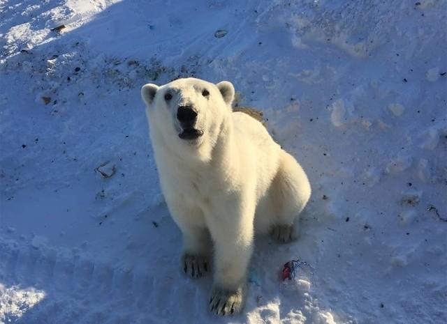 Эти фотографии шокировали Европу - нашествие медведей (10 фото)