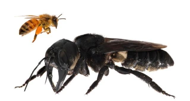 Найдена огромная пчела Уоллеса, она считалась вымершим (3 фото)