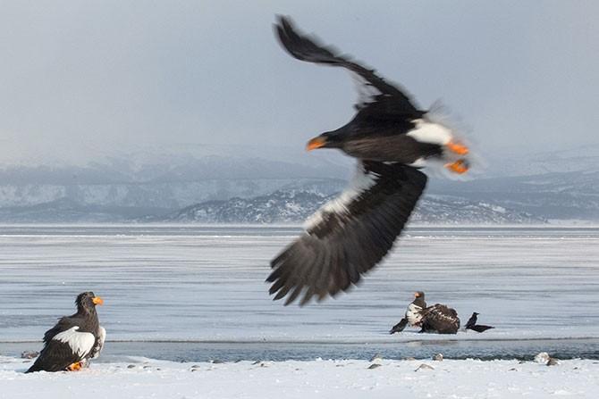 Нерест нерки на Курильском озере (14 фото)