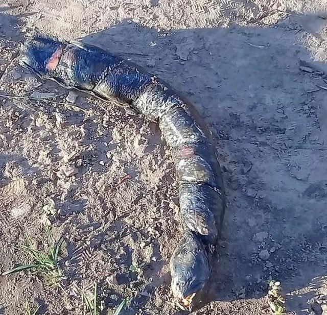 Аргентинские фермеры нашли на рисовом поле жуткое существо (5 фото)