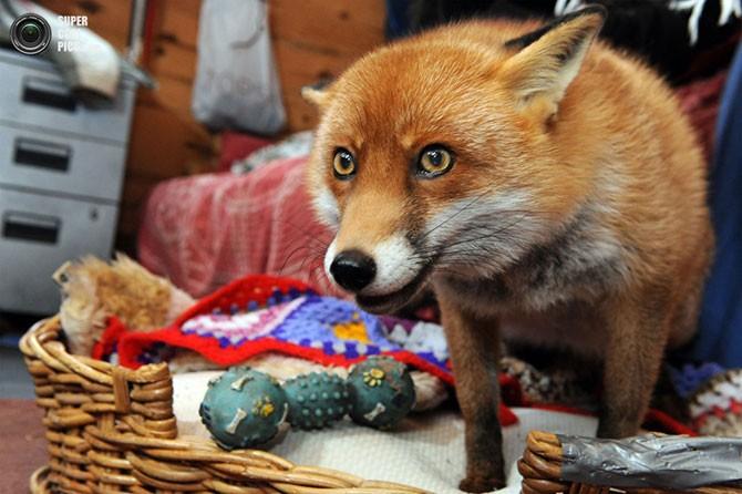 Лисица, считающая себя домашней собакой (12 фото)