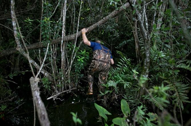 \Охота на питонов (31 фото)