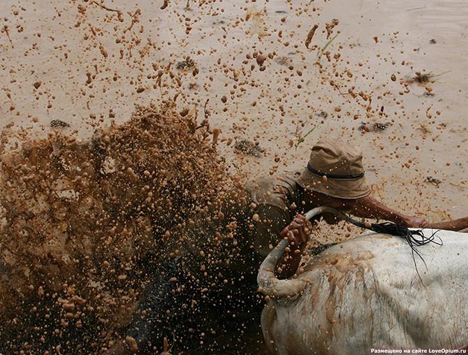 Гонки на быках в Индии (26 фото)