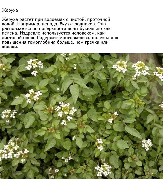 Обычные сорняки, о пользе которых вы могли не знать (10 фото)