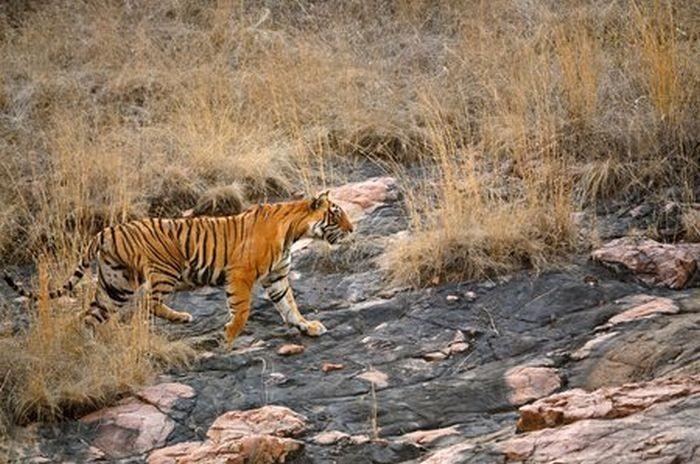 Встреча медведицы и тигра (12 фото)