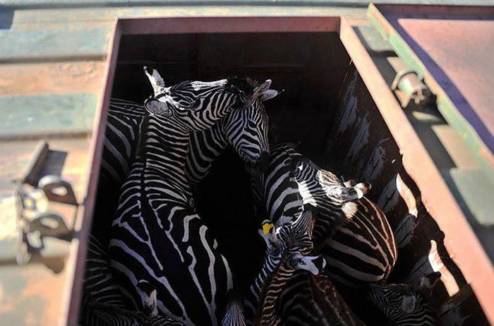 Перевозка зебр (9 фото)