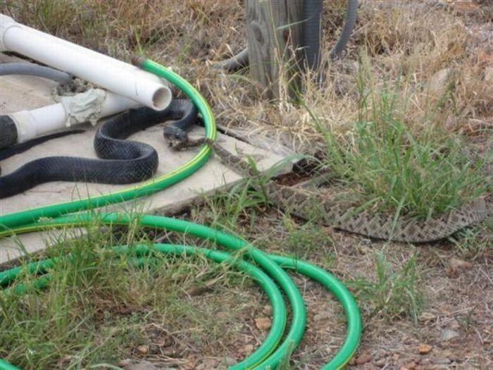 Змея съела своего собрата (7 фото)