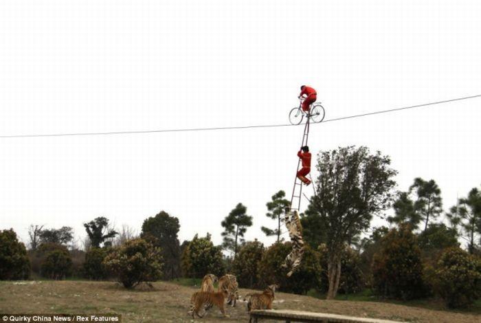 Акробат чуть не угодил в пасть тигра (5 фото)