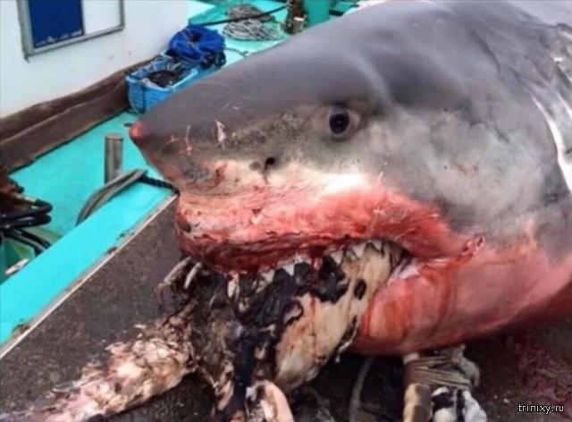 Рыбак из Японии опубликовал фото гигантской белой акулы (3 фото)