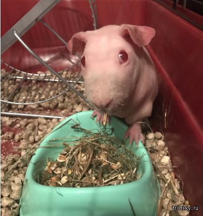 Даже морская свинка альбинос заслуживает любви (5 фото)