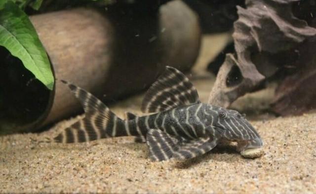 Когда аквариумной рыбке уже 25 лет (5 фото)