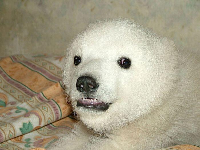 Человек спас полярного медведя (18 фото)
