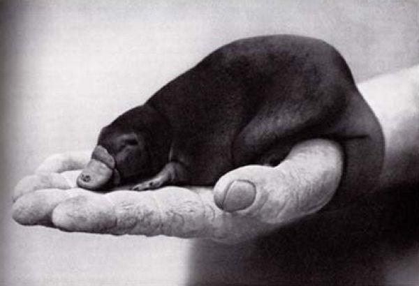 Детеныши утконоса (15 фото)