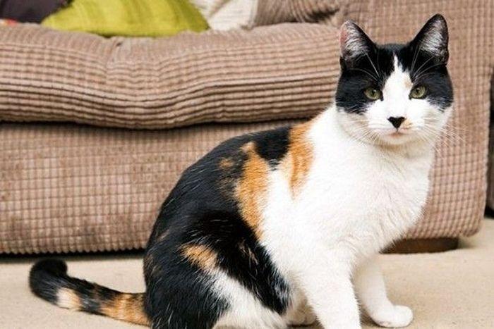 Редчайший английский кот (3 фото)