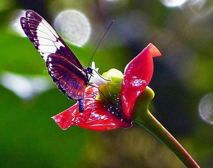 Цветок напоминающий по форме женские пухлые губы (16 фото)