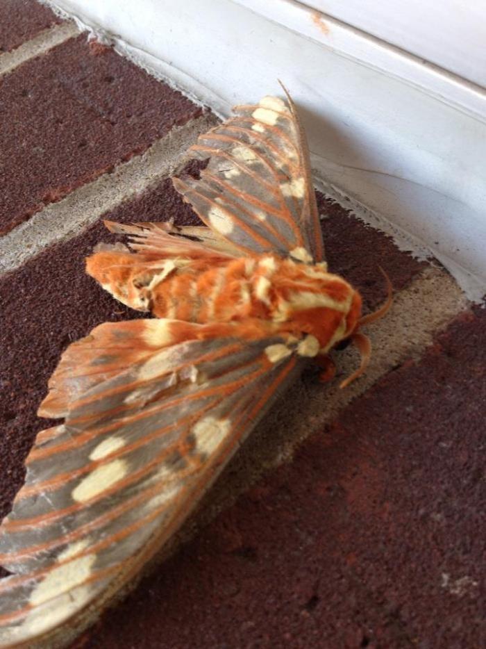 Королевская ореховая моль (3 фото)