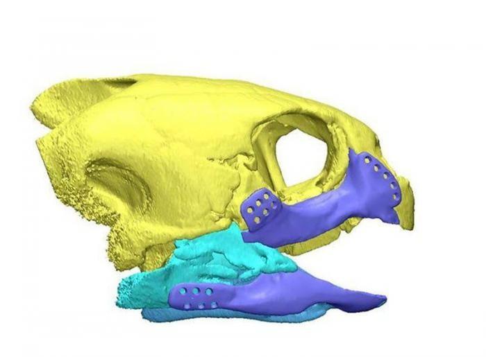 Черепахе сделали титановую челюсть (6 фото)
