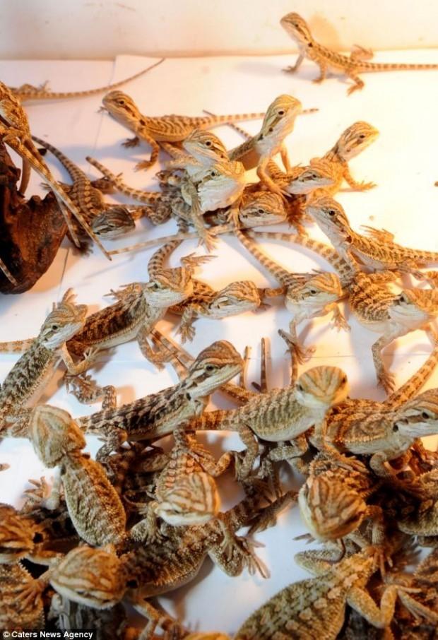 9-летний британец живет в доме с 94 ящерицами (4 фото)