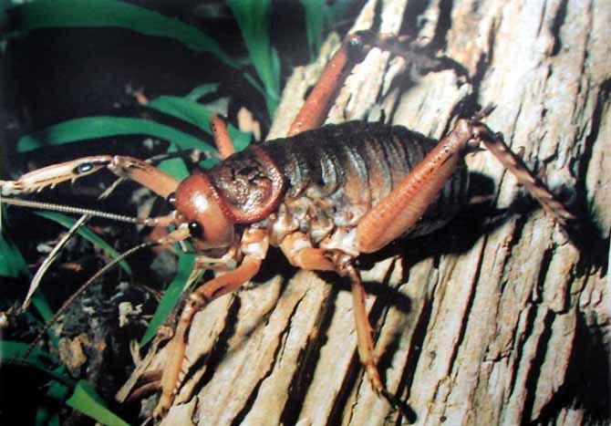 Обнаружено самое большое насекомое в мире (7 фото)