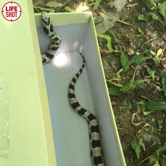 В московском дворе девушка поймала крупную змею (3 фото)