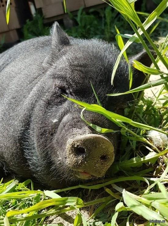 В Ростве воры не смогли пробраться в дом, забрали лишь свинку (4 фото)