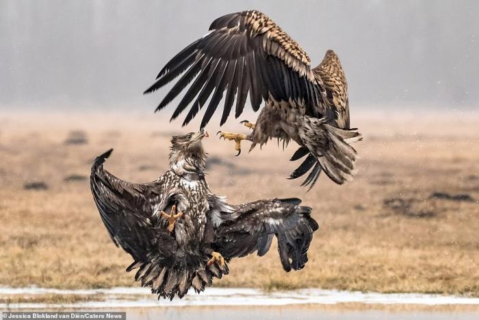 Зрелищная битва орлов (9 фото)