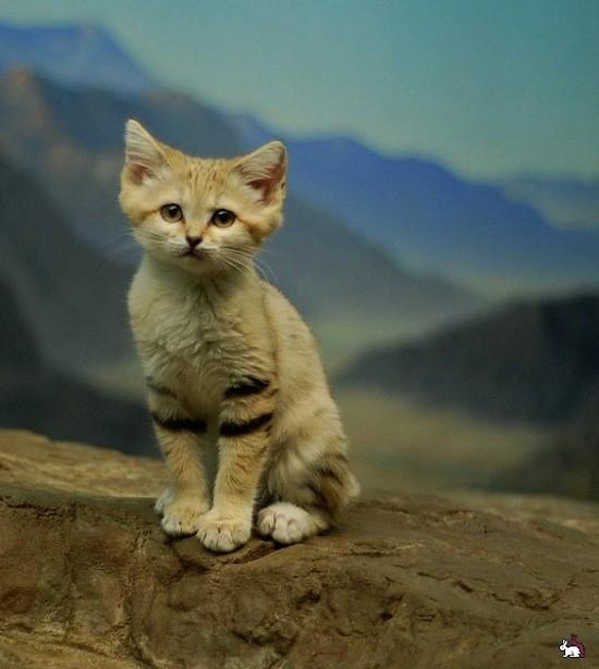 Существует порода кошек, живущих только в пустынях (2 фото)