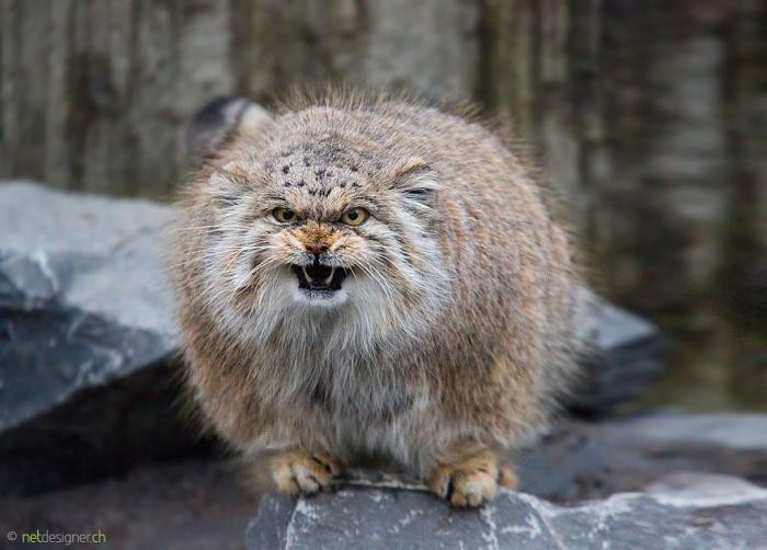 Самая экспрессивная кошка в объективе (17 фото)