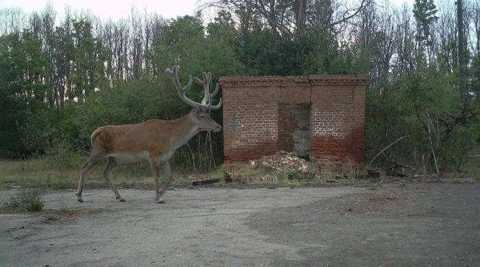 Животный мир в зоне отчуждения Чернобыля (14 фото)
