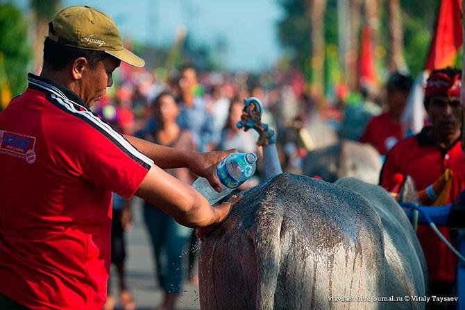 Гонки на буйволах на Бали (19 фото)