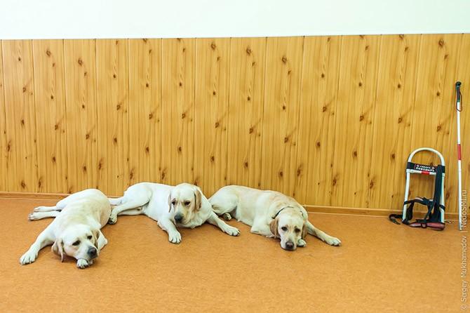 Золотые собаки (36 фото)