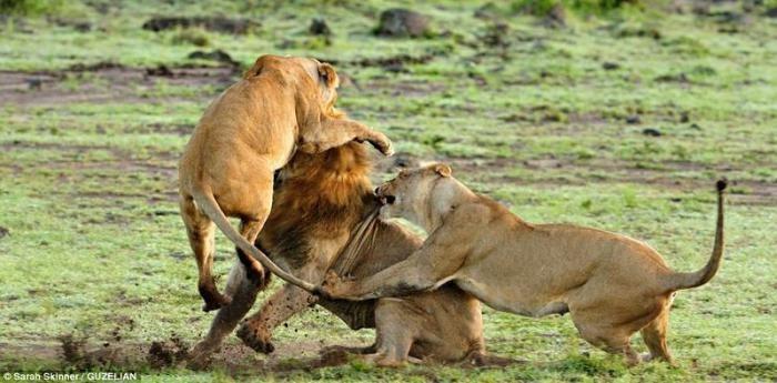 Лев забрёл на чужую территорию (9 фото)