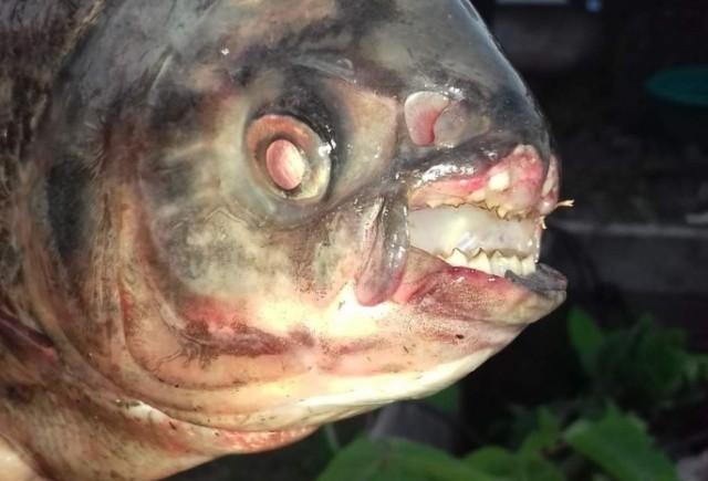 В Омске поймали странную рыбу (3 фото)