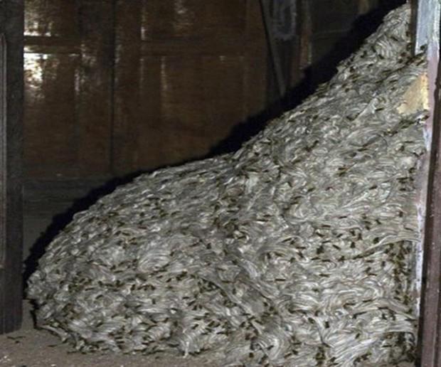 Полиция Испании обнаружила осиное гнездо размером с комнату (5 фото)