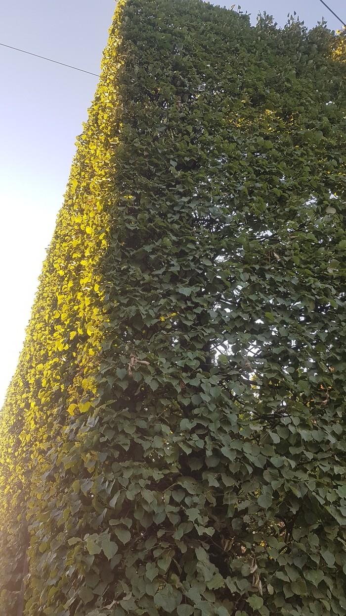 Живая ограда вокруг школы. Красота! (7 фото)
