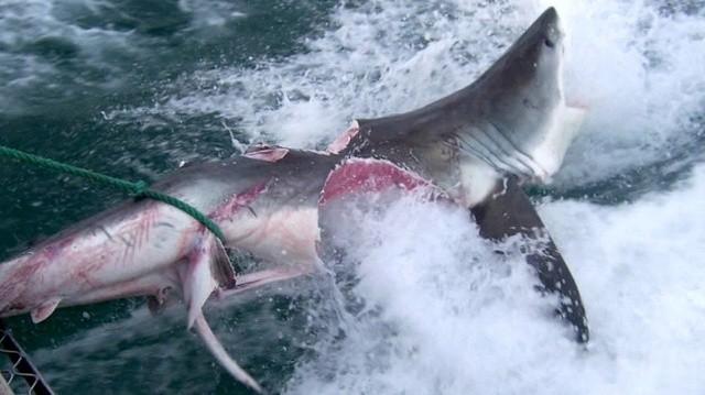 Жестокий мир акул (4 фото)