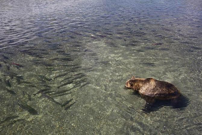 Медведь-рыболов с Камчатки (21 фото)