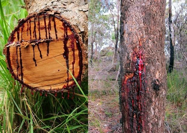 Дерево, «истекающее кровью» (7 фото)