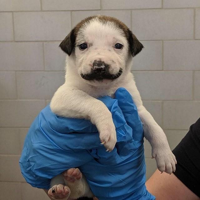 Сальвадор Долли - щенок, который кого-то очень напоминает... (8 фото)