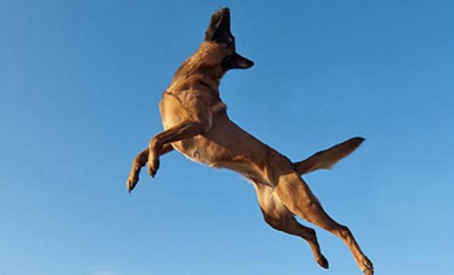 Эта собака сможет запрыгнуть на второй этаж (2 фото)