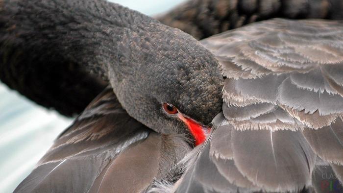 Зачем птицы прячут клюв под крыло (2 фото)