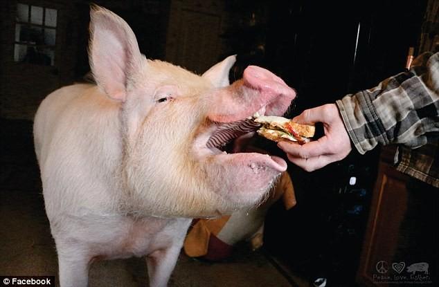 «Карликовая» свинка, из-за которой пришлось купить новый дом (17 фото)
