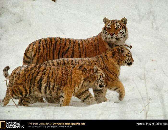 Самые большие кошки (9 фото)