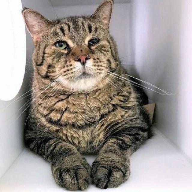 Мистер БиДжей - беспородный кот-великан из Филадельфии (4 фото)