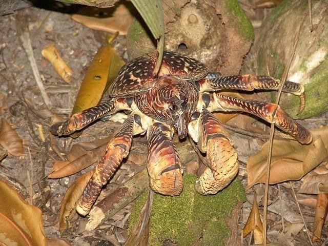 Кокосовый краб - огромный членистоногий монстр (11 фото)