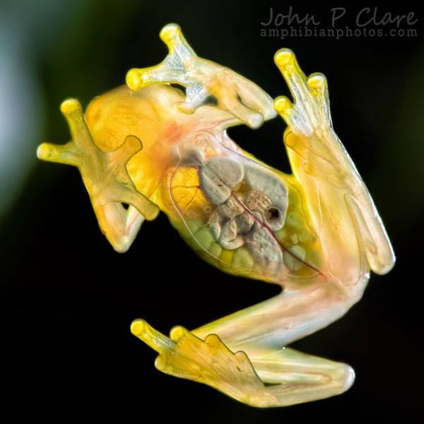 Удивительные полупрозрачные животные (34 фото)
