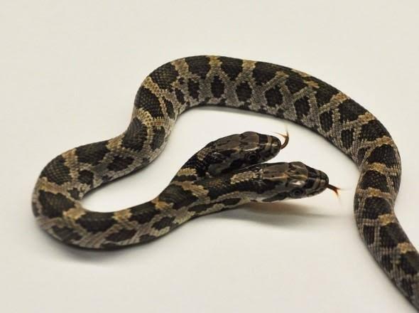 В США обнаружили змею с двумя головами (4 фото)