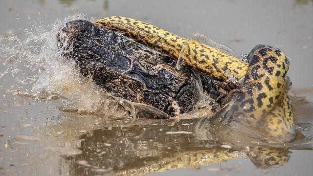 UFC в дикой природе: бой крокодила с анакондой (5 фото)