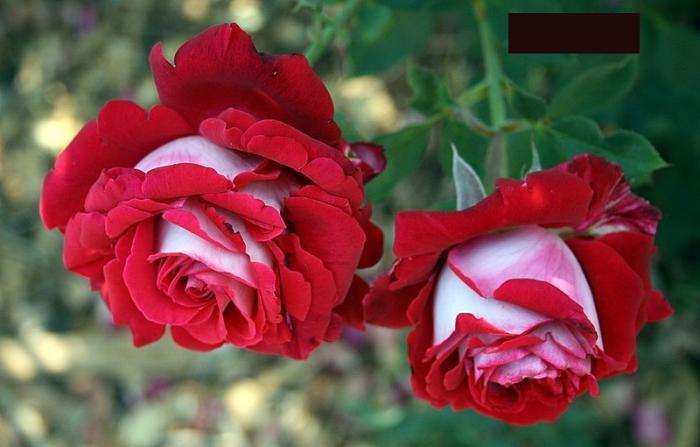 Двухцветная роза Osiria в фотографиях (10 фото)